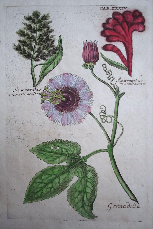 Granadilla, Amaranthus cramesinocolore, Amaranthus paniculaincurva