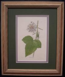 loddiges-5--framed