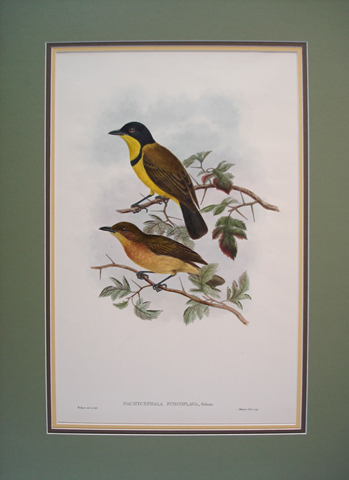 Gould, John (1804-1881) The Birds of New Guinea