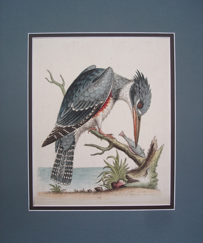 Edwards, George (1694-1773) Ornithology Category