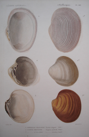 Cuvier, Baron Georges (1769-1832), Conchology Category