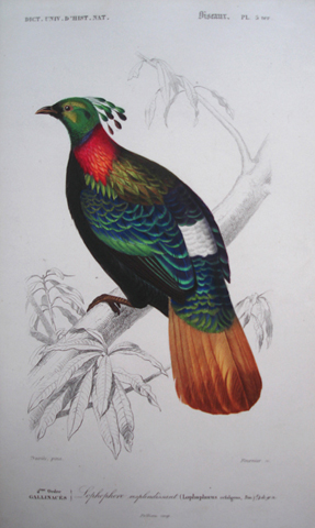 D'Orbigny, Charles Dessalines (1806-1876), Ornithology Category
