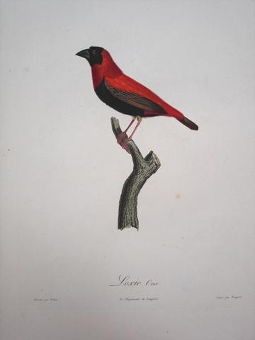 Vieillot, Louis J. P. (1748-1831)