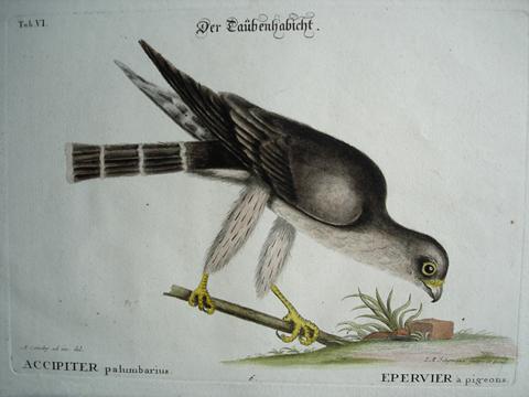 Catesby, Mark (1683-1749) (Johann Michael Seligmann Edition)