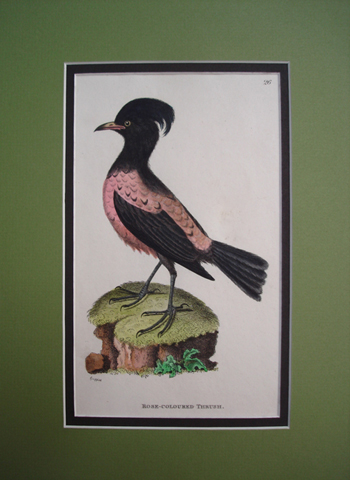 Shaw, George (1751-1813)  General Zoology or Systematic Natural History