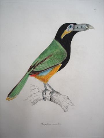 Selby, Prideaux John (1788-1867) / Jardine, Sir William (1800-1874) Illustrations of Ornithology