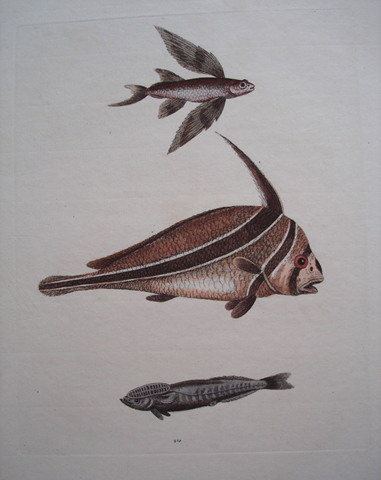 Edwards, George (1694-1773) Ichthyology Category