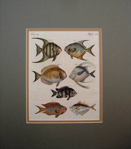 Bertuch, Friedrich Justin (1747-1822) Ichthyology Category