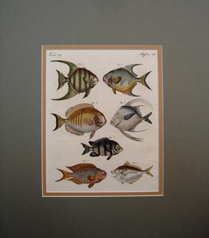 Bertuch, Friedrich Justin (1747-1822) Ichthyology Category