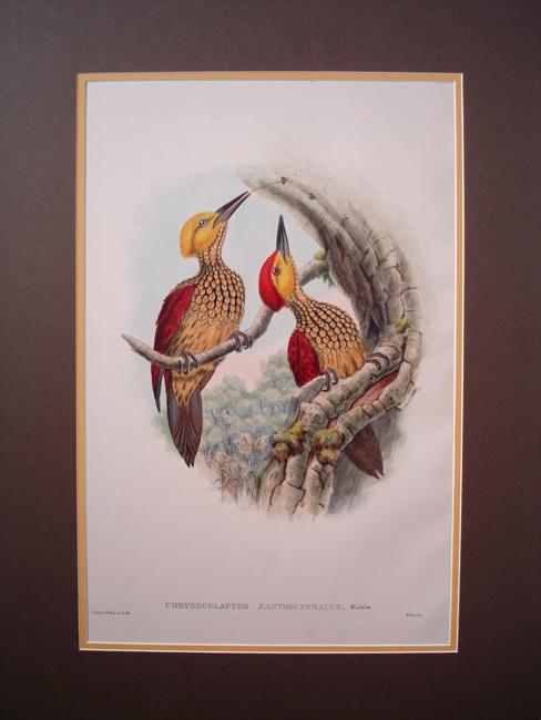 Chrysocolaptes Xanthocephalus