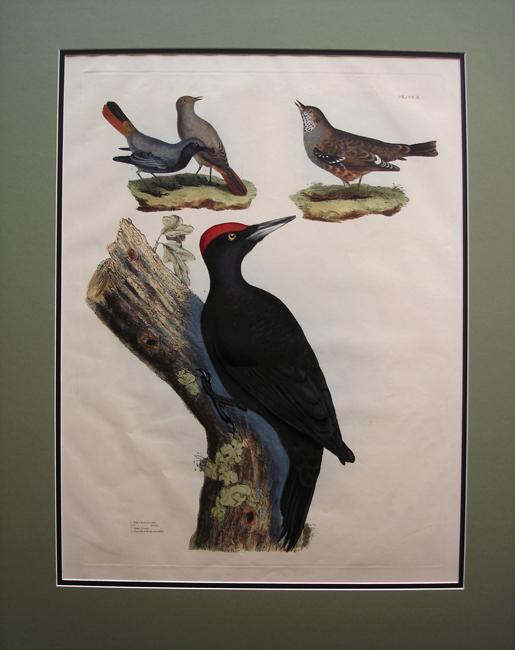 Great Black Woodpecker, Male