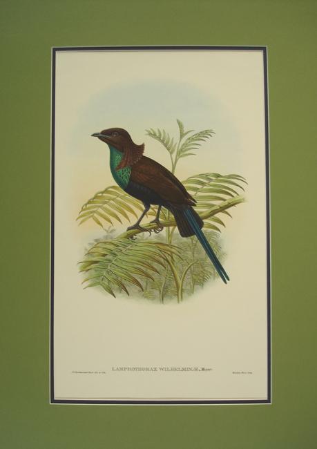 Greentrained Bird of Paradise (Lamprothorax Wilhelminae)
