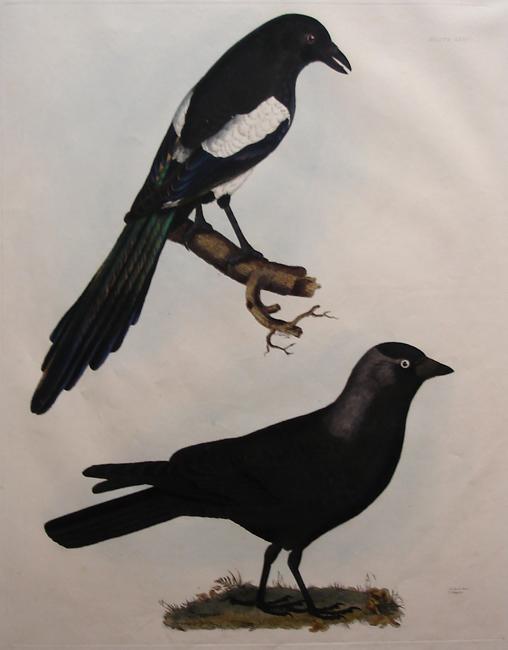 Jack Daw, Magpie