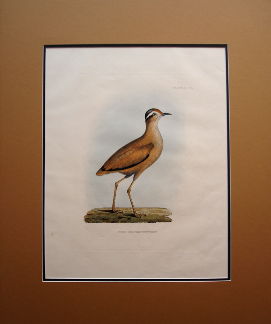 Cream Colored Swiftfoot