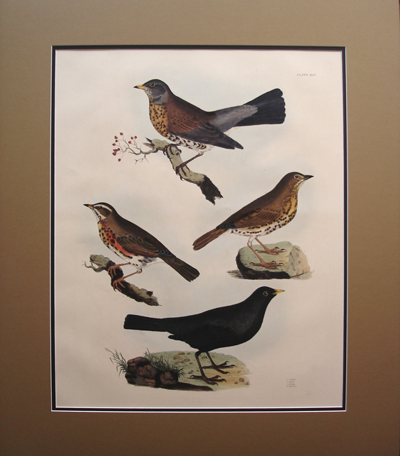 Fieldfare, Thrush, Redwing, Blackbird