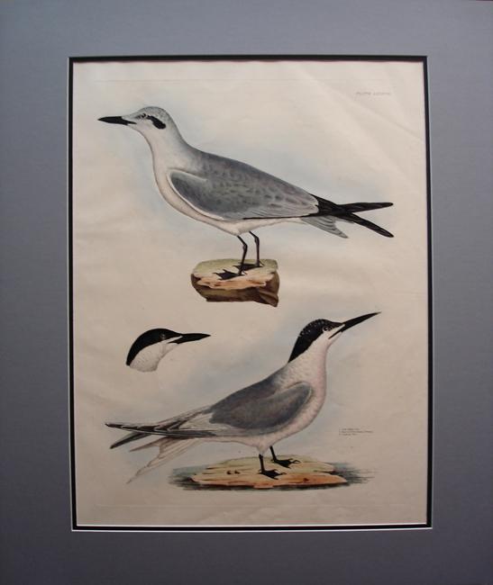 Gull Billed Tern, Sandwich Tern