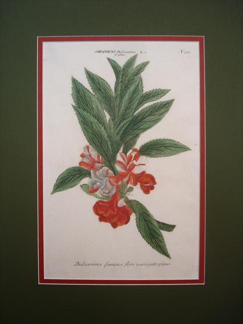 Impatiens, Balsamina foemina flore variegato pleno