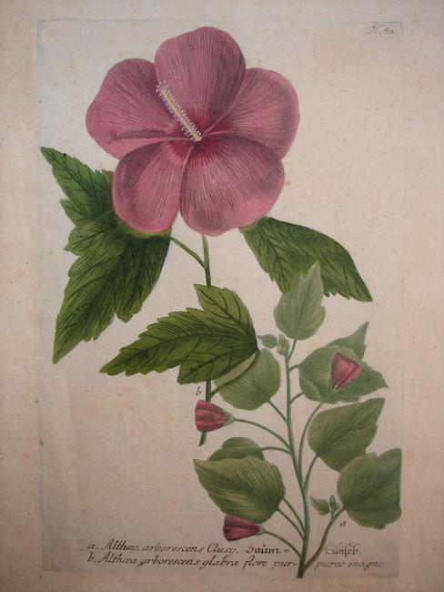 a) Althoea arborescens Clusy, b) Althoea arborescens glabra flora purpureo magno