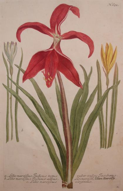 a) Lilio narcissus Indicus totus ruber vulgo Iacoboeus, b) Lilio narcissus Indicus albus Lis-narcise, c) Lilio narcissus virgineus