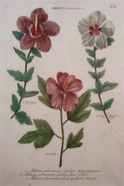 Hibiscus Syriacus a) Althoea arborescens glabra flore purpureo, b) Althoea arborescens glabra flore albo, c) Althoea arborescens flore pallido striato