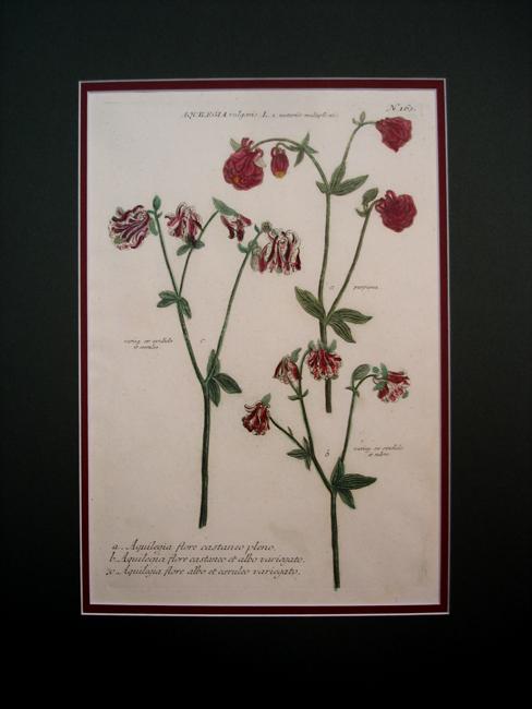 a) Aquilegia flore castaneo pleno, b) Aquilegia flore castaneo et albo variegato, c) Aquilegia flore albo et caeruleo variegato