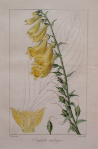 "Bessa, Pancrace  (1772-1836) ""Digitalis Ambigua (Fox Glove)"""