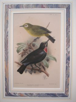 "Proceedings of the Zooliogical Society of London, Keulemans, J.G. ""Zosterops Perspicillata, Cinnyris Hunteri"""