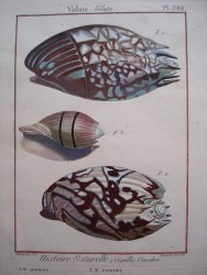 Conchology (Shells)
