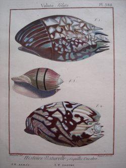 Conchology (Shells)