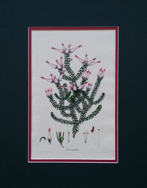Andrews, Henry, C (1743-1820) (Colored Engravings of Heaths)
