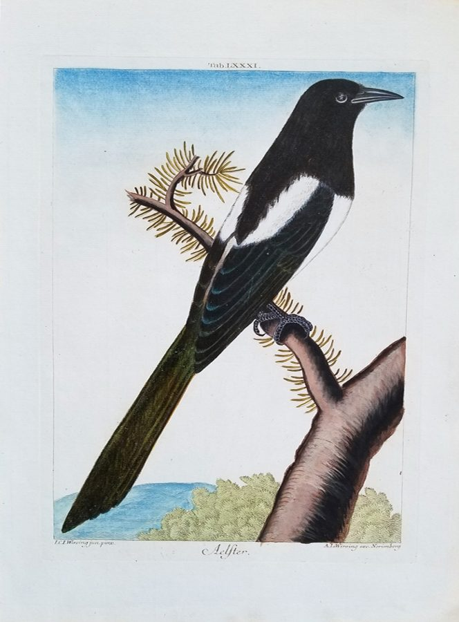 Aelster (Magpie)