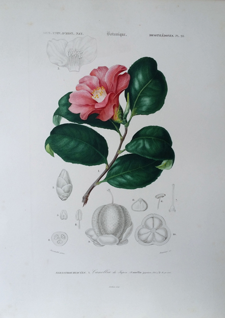 D'Orbigny, Charles Dessalines (1806-1876) Botanical Category