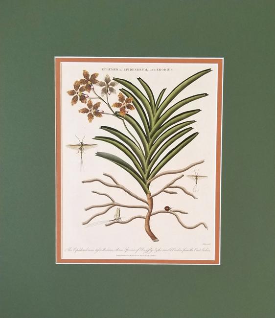 Wilkes, John (1750-1810) Botanical Category