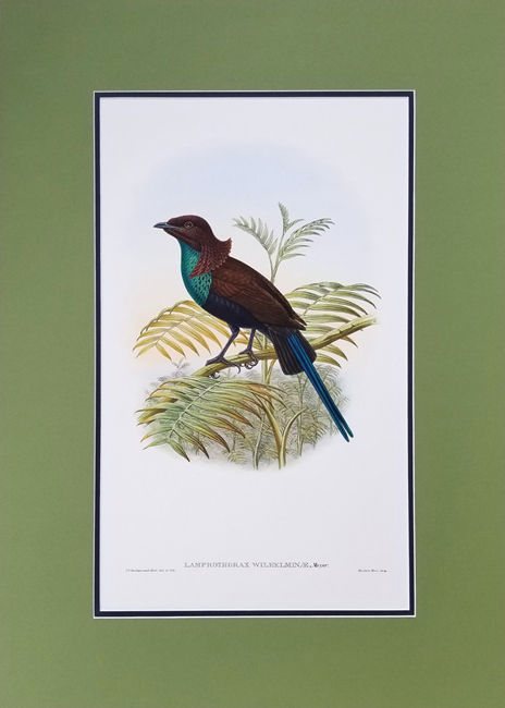 Gould, John (1804-1881) / Sharpe, Richard Bowdler (1847-1909), Monograph of the Paradiseidae (Birds of Paradise)