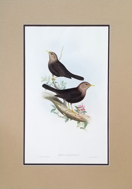 Gould, John (1804-1881) The Birds of Australia