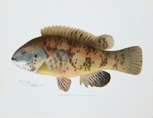 Denton, Sherman Foote (1856-1937), Ichthyology Category