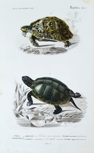 D'Orbigny, Charles Dessalines (1806-1876) Reptile Category