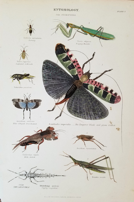 Miscellaneous Insects (19th Century)