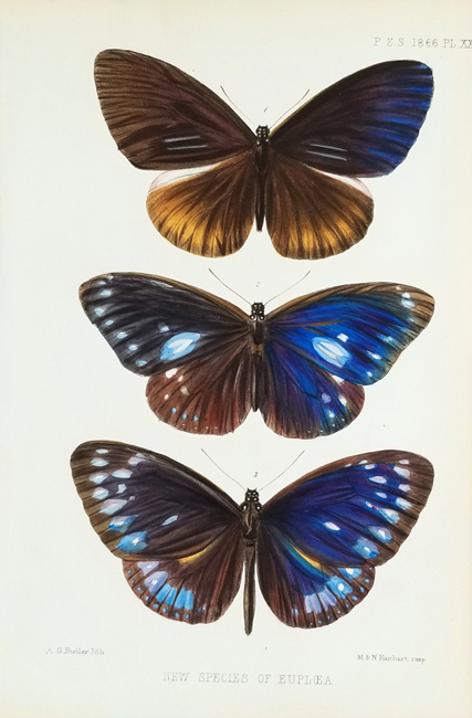 Proceedings of the Zoological Society of London, Entomology Category (Butterflies)