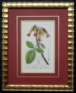 Original Antique Horticultural print