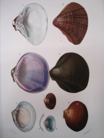 D'Orbigny, Charles Dessalines (1806-1876), Conchology Category