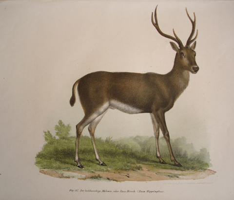 Fitzinger, Leopold Joseph (1802-1884)