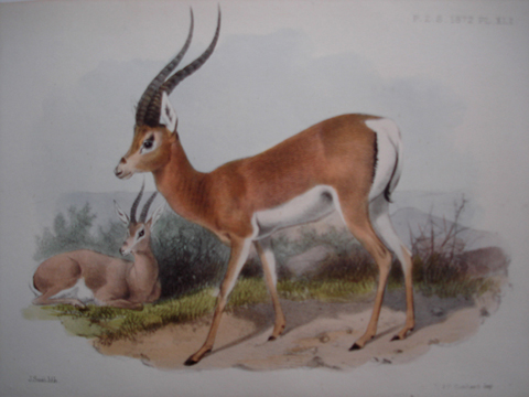 Proceedings of the Zoological Society of London, Quadrupeds Category