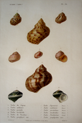 Miscellaneous Conchology (19th Century)