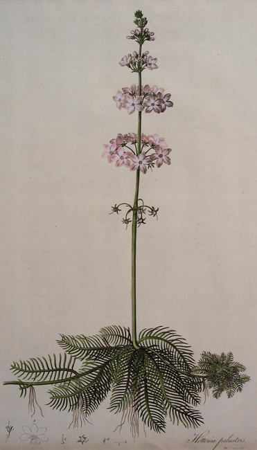 Hottonia Palustris (Water Hottonia or Water Violet)