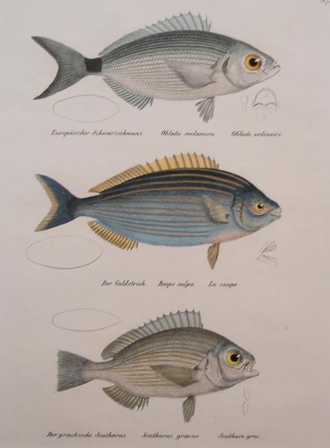 1) Oblata Melanura, 2) Boops Salpa, 3) Scatharus Groecus