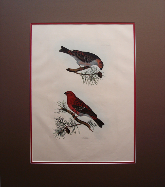 Pine Bull Finch (male and female)