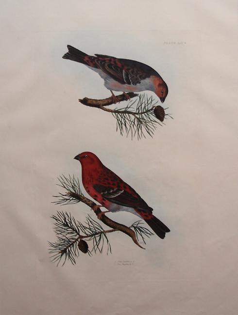 Pine Bull Finch (male and female)