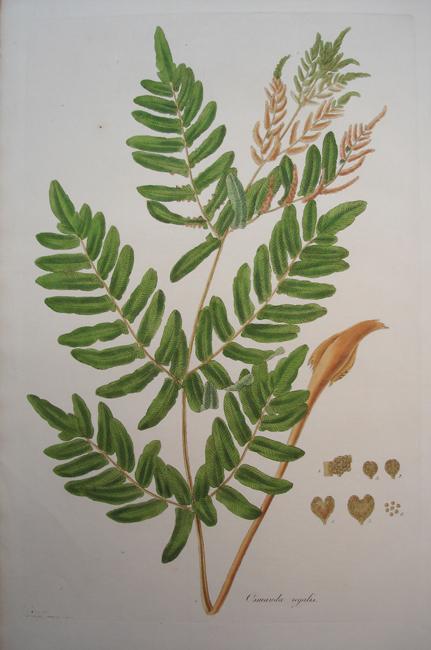 Osmunda Regalis (Osmund Royal or Flowering Fern)