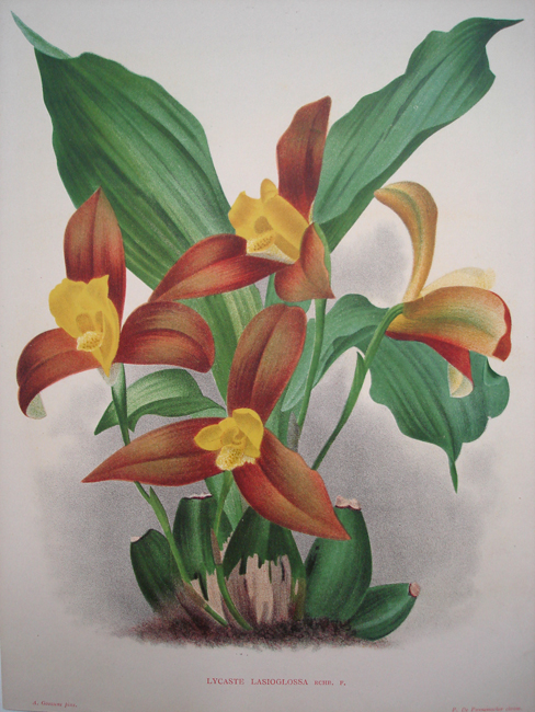 Lycaste Lasioglossa (The Hairy-Lipped Lycaste)